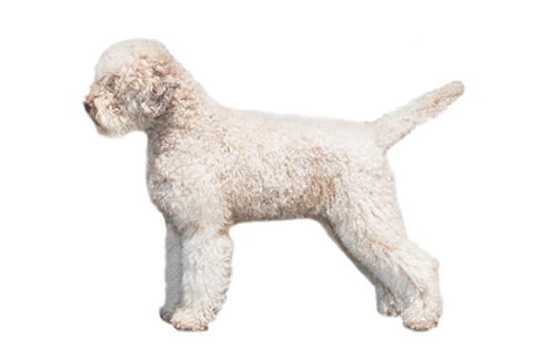 Lagotto copy.png