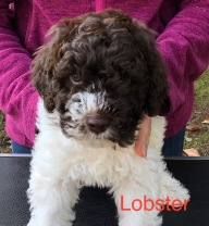 Lobster 7 Weeks B copy.jpg